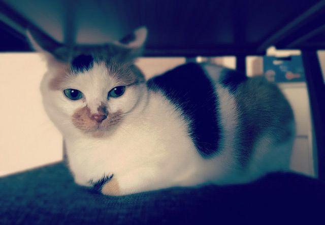 物思いに耽る三毛猫 - 猫の写真素材