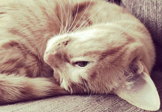 寝る前の猫のポーズ - 猫の写真素材