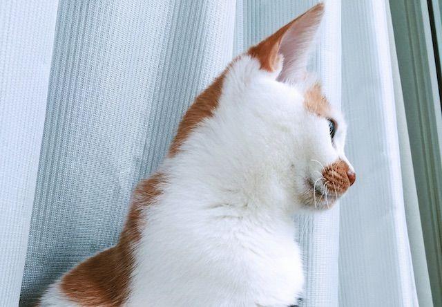 窓の外をみて見張り番をする三毛猫 - 猫の写真素材