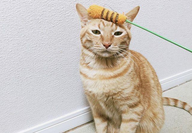 猫じゃらしと茶トラ - 猫の写真素材