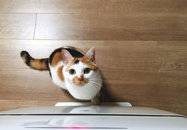 三毛猫のくりくりした目 - 猫の写真素材