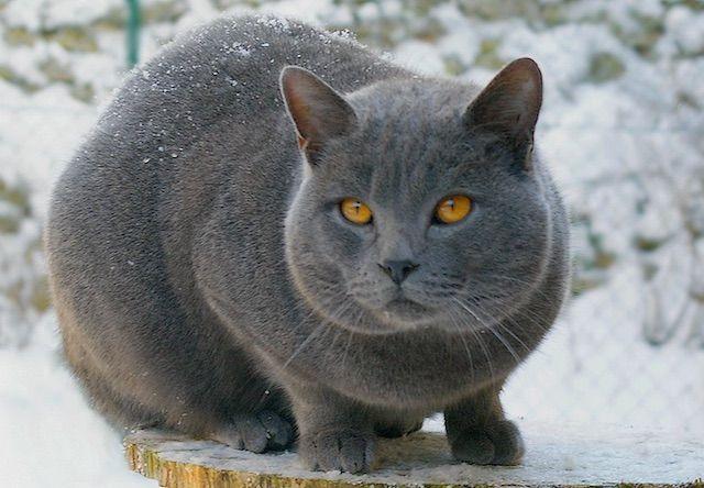 シャルトリュー(Chartreux) - 猫の種類&図鑑