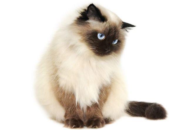 ヒマラヤン(Himalayan) - 猫の種類&図鑑