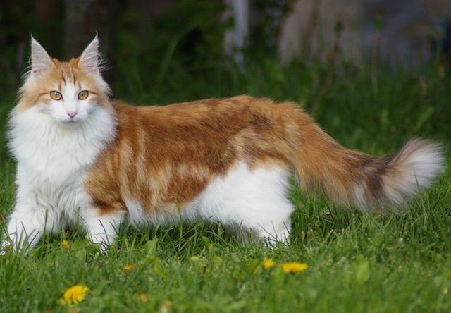 ノルウェージャンフォレストキャット(Norwegian Forest Cat) - 猫の種類&図鑑