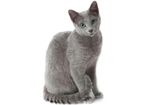 ロシアンブルー(Russian Blue) , 猫の種類&図鑑