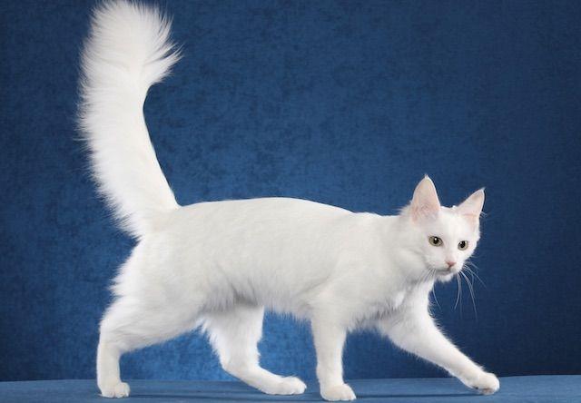 ターキッシュアンゴラ(Turkish Angora) - 猫の種類&図鑑