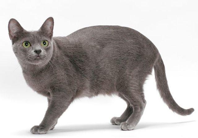 コラット(Korat) - 猫の種類&図鑑
