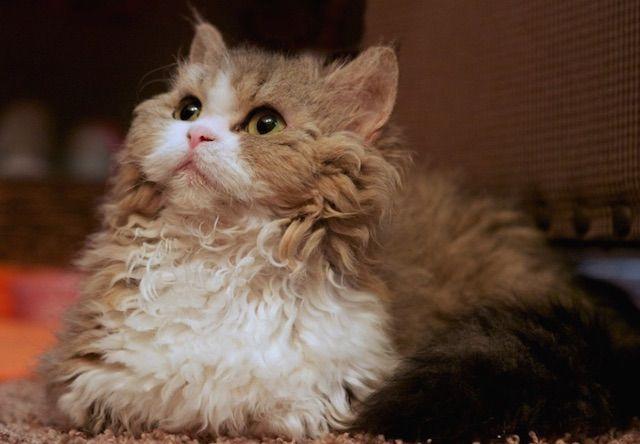 ラムキン(Lambkin) - 猫の種類&図鑑
