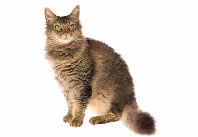 ラパーマ(LaPerm) - 猫の種類&図鑑