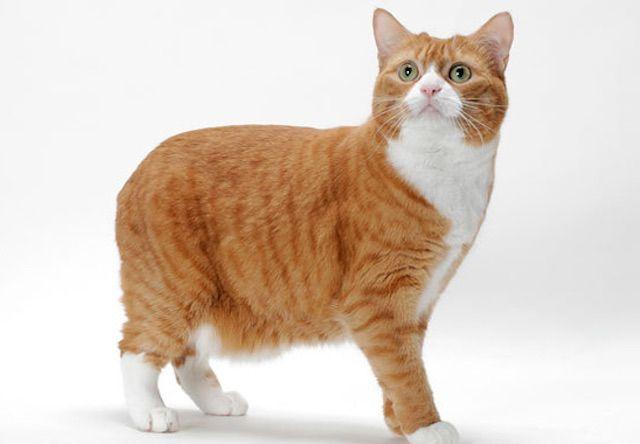 マンクス(Manx) - 猫の種類&図鑑