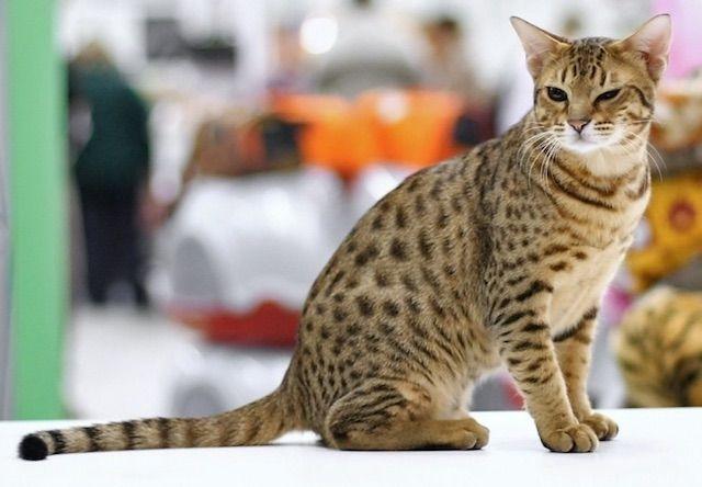 オシキャット(Ocicat) - 猫の種類&図鑑