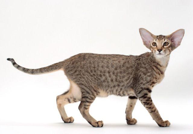 オリエンタル(Oriental) - 猫の種類&図鑑