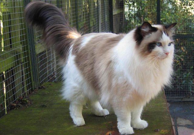 ラグドール(Ragdoll) - 猫の種類&図鑑