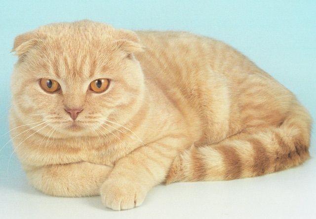 スコティッシュフォールド(Scottish Fold) - 猫の種類&図鑑