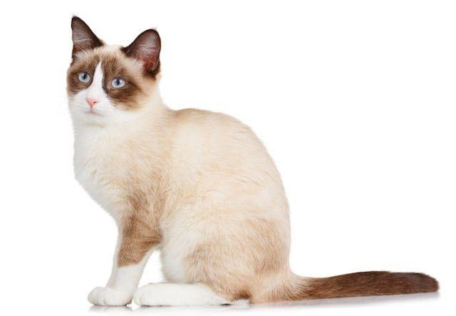 スノーシュー(Snowshoe) - 猫の種類&図鑑