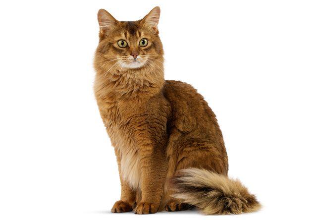 ソマリ(Somali) - 猫の種類&図鑑