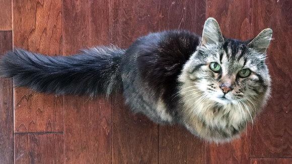 長寿猫のコードュロイ(Corduroy)