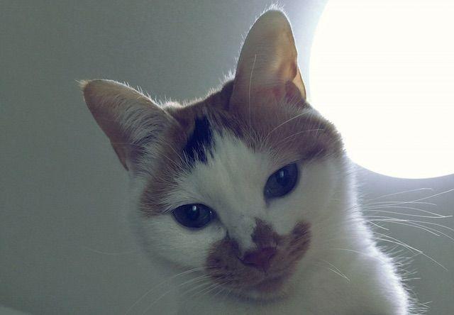 逆光の三毛猫 - 猫の写真素材