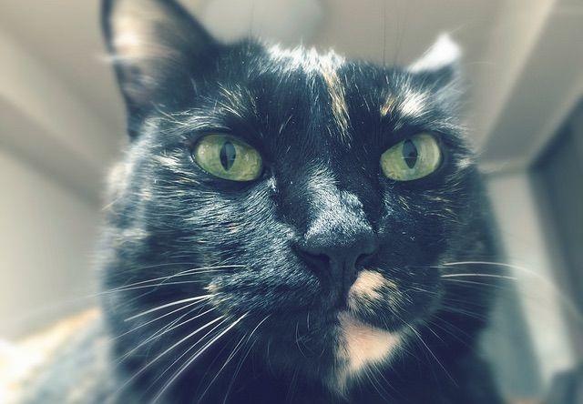 凛々しい表情のメス猫 - 猫の写真素材