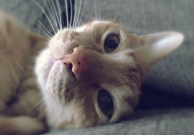 目をパッチリ開けてぼーっとするネコ – 猫の写真素材