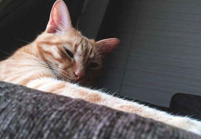 手の長い茶トラ - 猫の写真素材