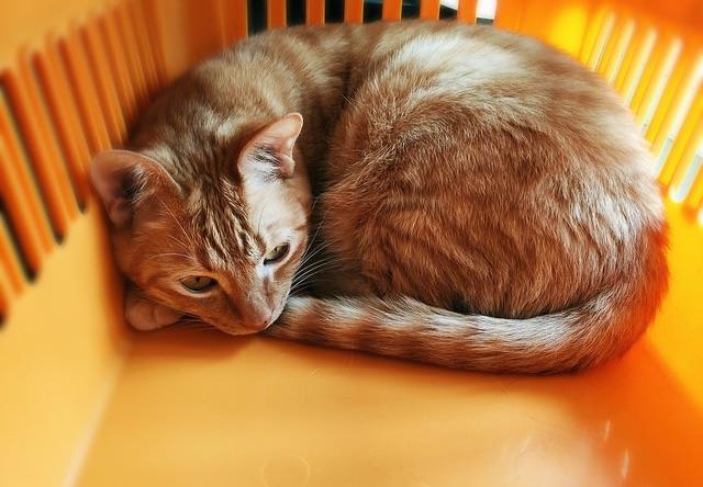 ケージの中でくつろぐ茶トラ - 猫の写真素材