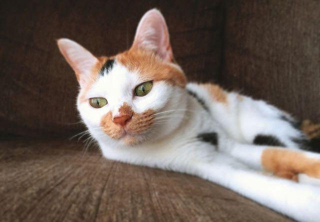 やる気のない表情の三毛猫 - 猫の写真素材
