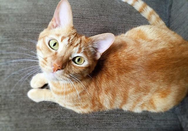 キョトンとした表情の茶トラ - 猫の写真素材