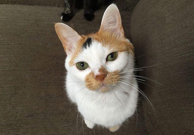 三毛猫のおねだり顔 - 猫の写真素材