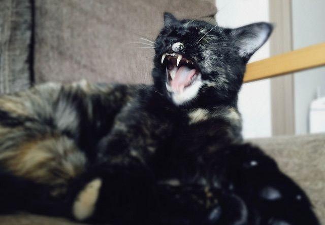 アクビで牙が丸見えの猫 - 猫の写真素材