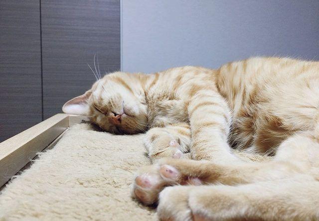 茶トラの寝顔と肉球 - 猫の写真素材