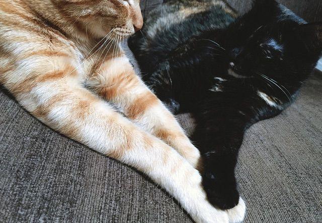 茶トラの手にタッチするサビ猫 - 猫の写真素材