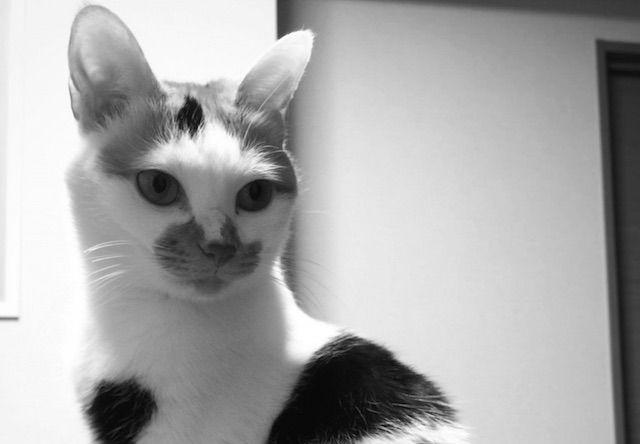 耳がでかい三毛猫 - 猫の写真素材