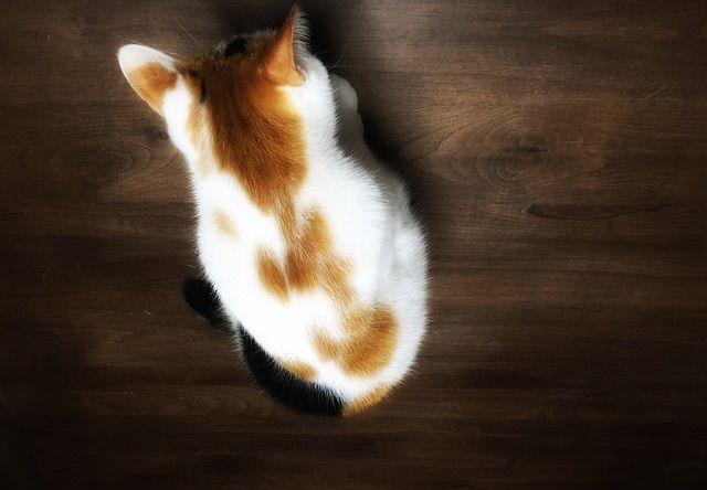 真上から見た三毛猫 - 猫の写真素材