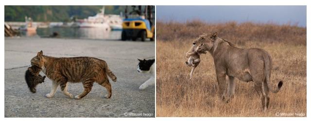 ネコとライオン