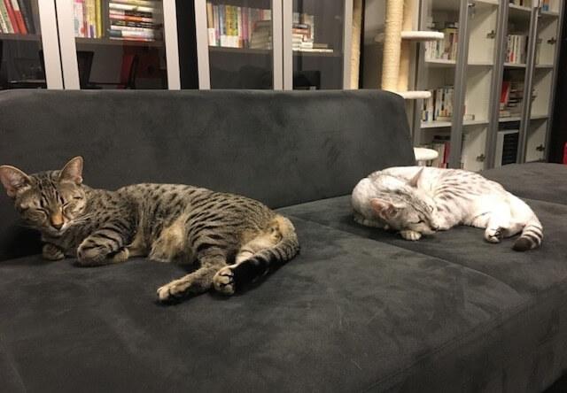 ソファを占領する猫