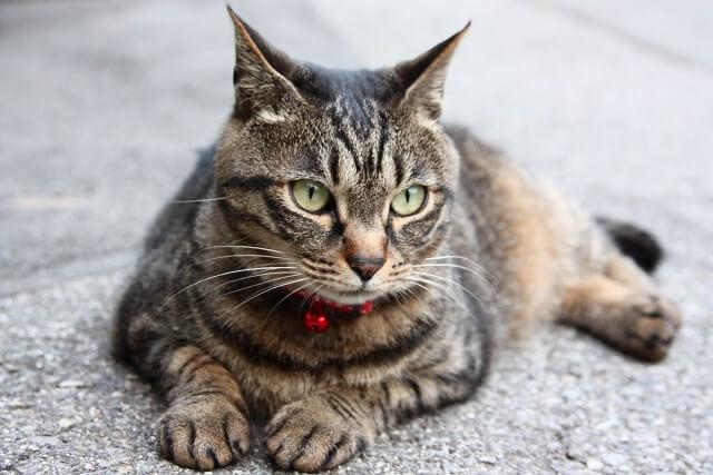 猫のイカ耳イメージ写真