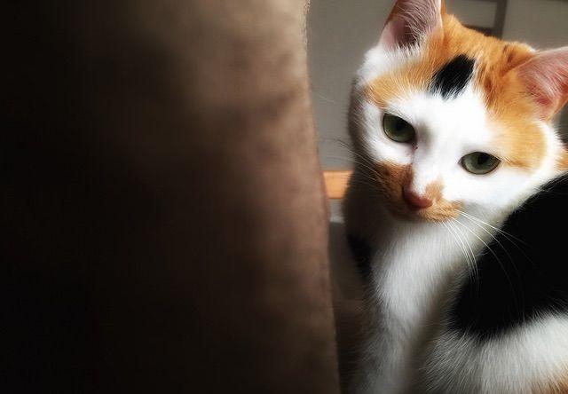 シュッとした顔の三毛猫 - 猫の写真素材