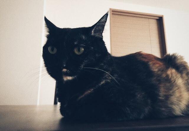 耳を尖らせるサビ猫 - 猫の写真素材