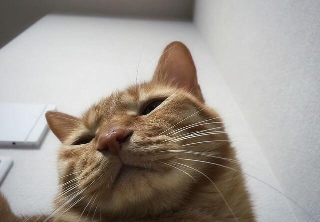 下から見た眠そうな茶トラ - 猫の写真素材