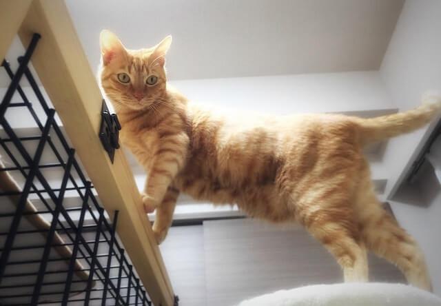 黄金色の茶トラ - 猫の写真素材