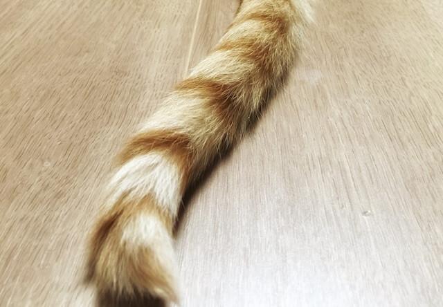 縞模様のしっぽ - 猫の写真素材 - 猫の写真素材