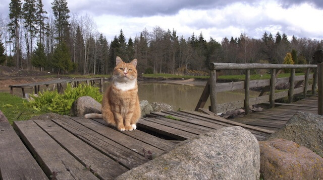 ラトビアの自然の中で暮らす猫