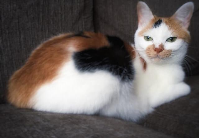 穏やかな表情の三毛猫 - 猫の写真素材
