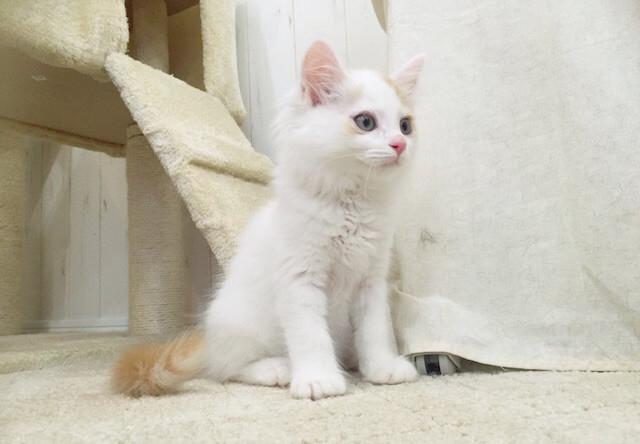 譲渡型猫カフェにゃんくる、川崎と桜木町で譲渡会を同時開催