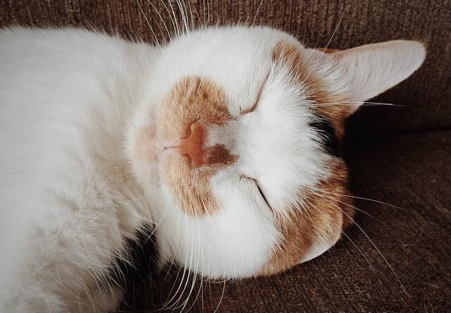 三毛猫の寝顔 - 猫の写真素材