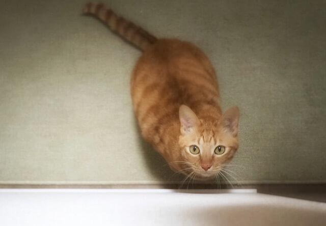 真上の獲物を狙う茶トラ - 猫の写真素材