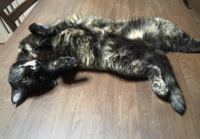 仰向けでボーッとするサビ猫 - 猫の写真素材