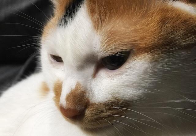 不服そうな三毛猫 - 猫の写真素材