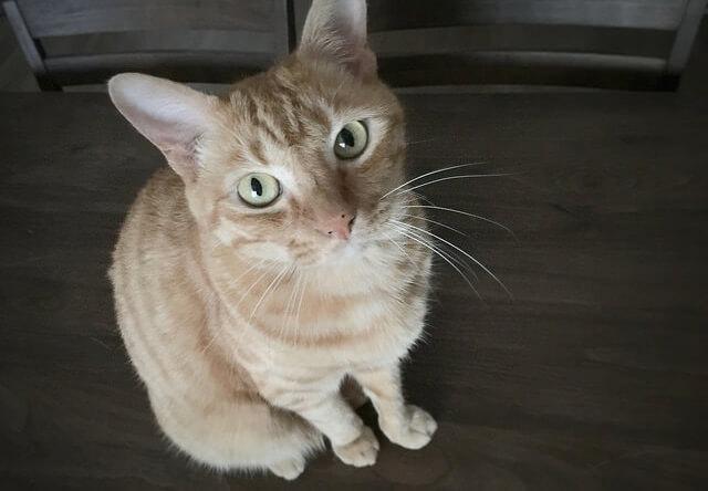 じっと見つめる猫 – 猫の写真素材